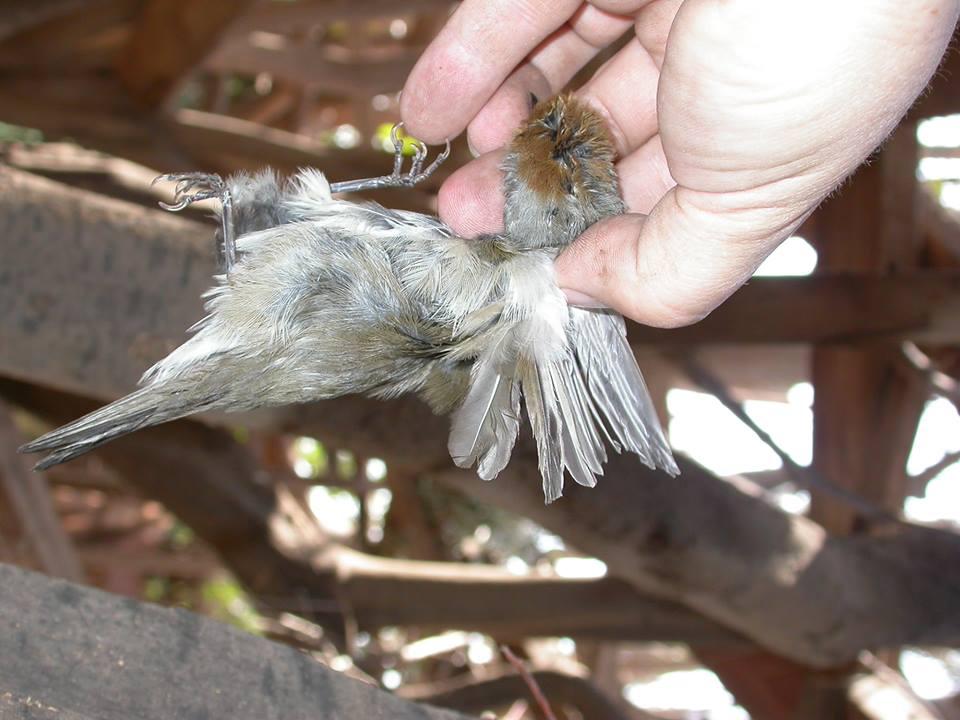 parany-aves